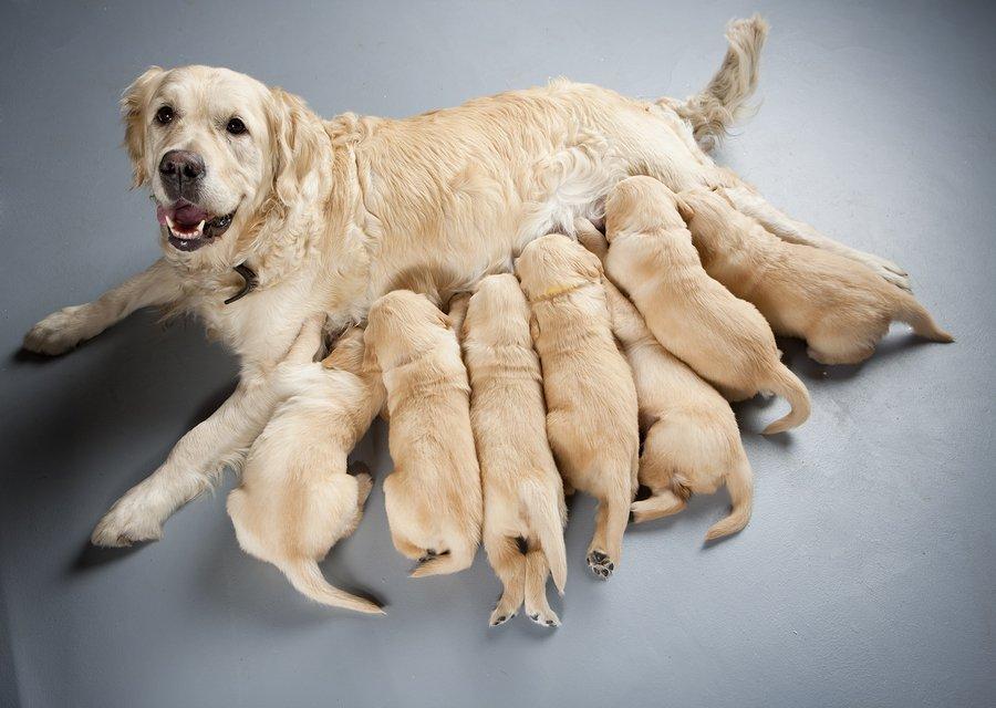 breastfeeding dog