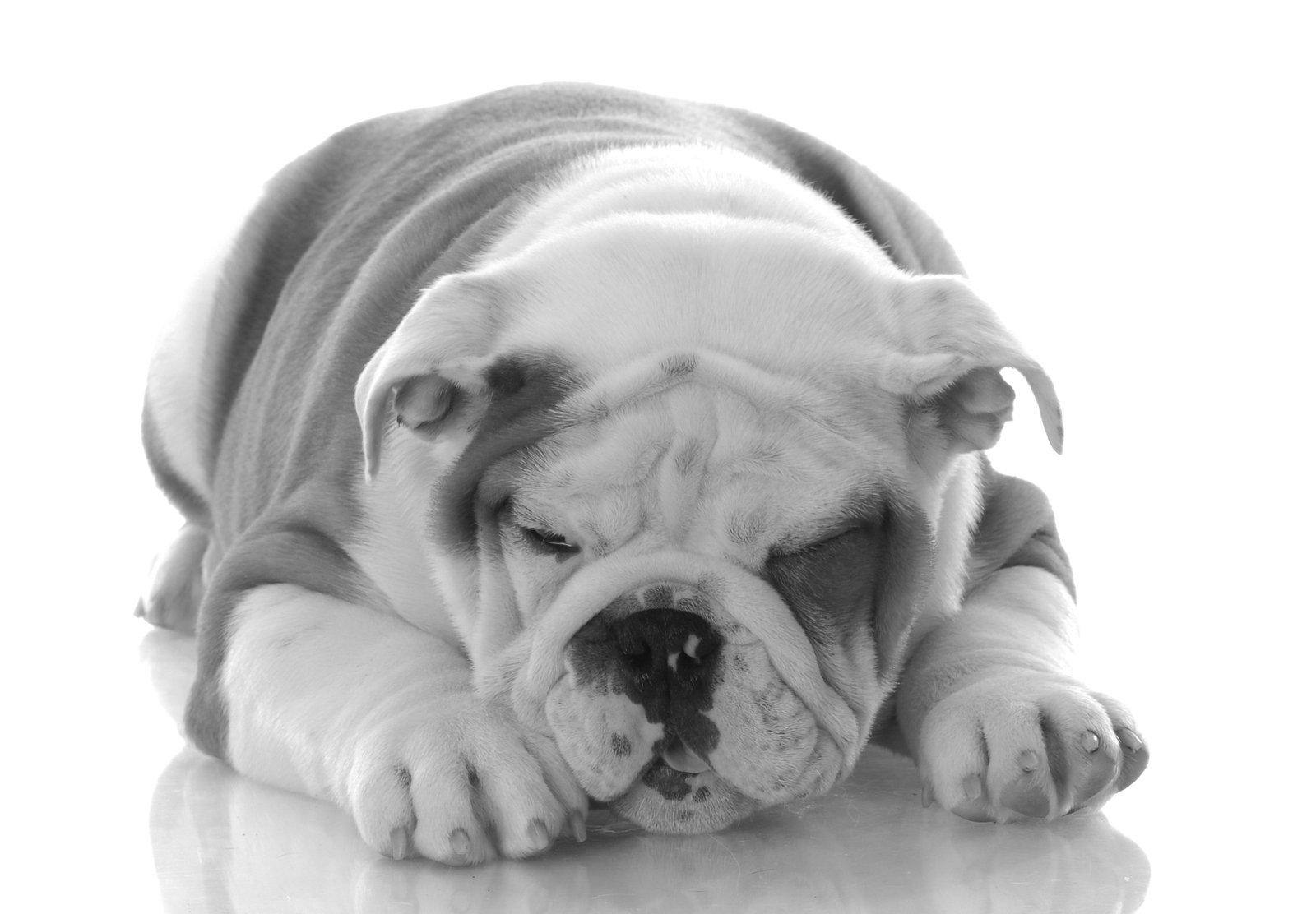 a bulldog puppy