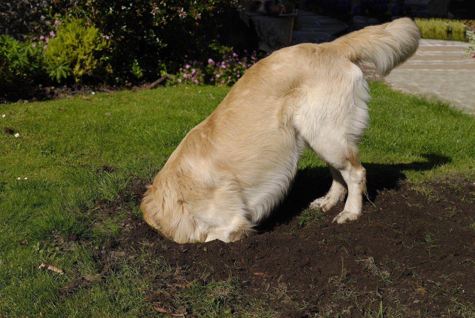 dog digging in yard