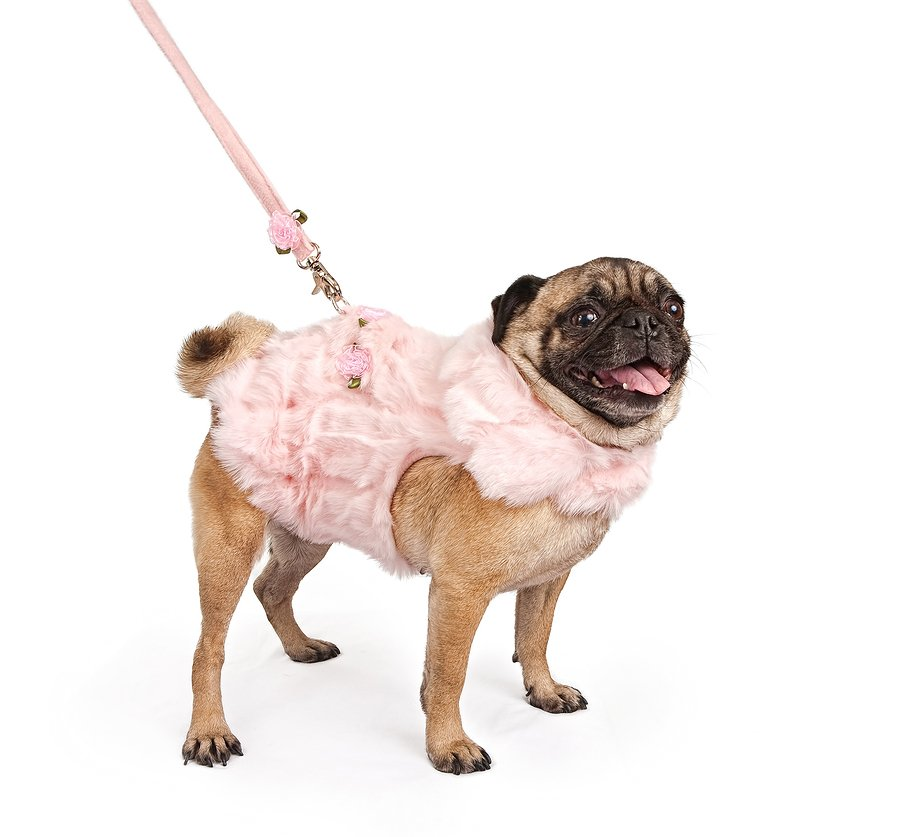 pug in harness