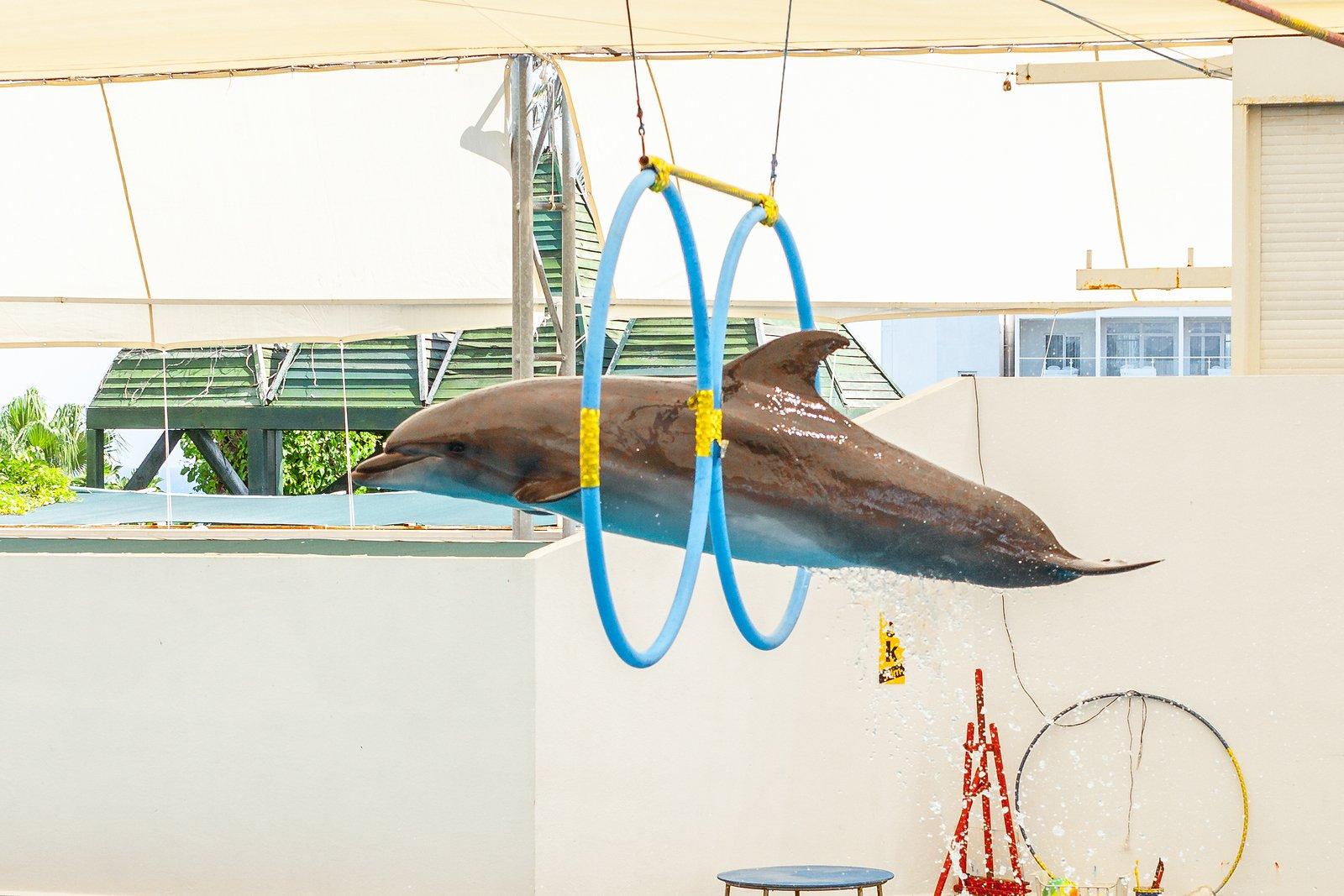 Dolphin jumping through hoop