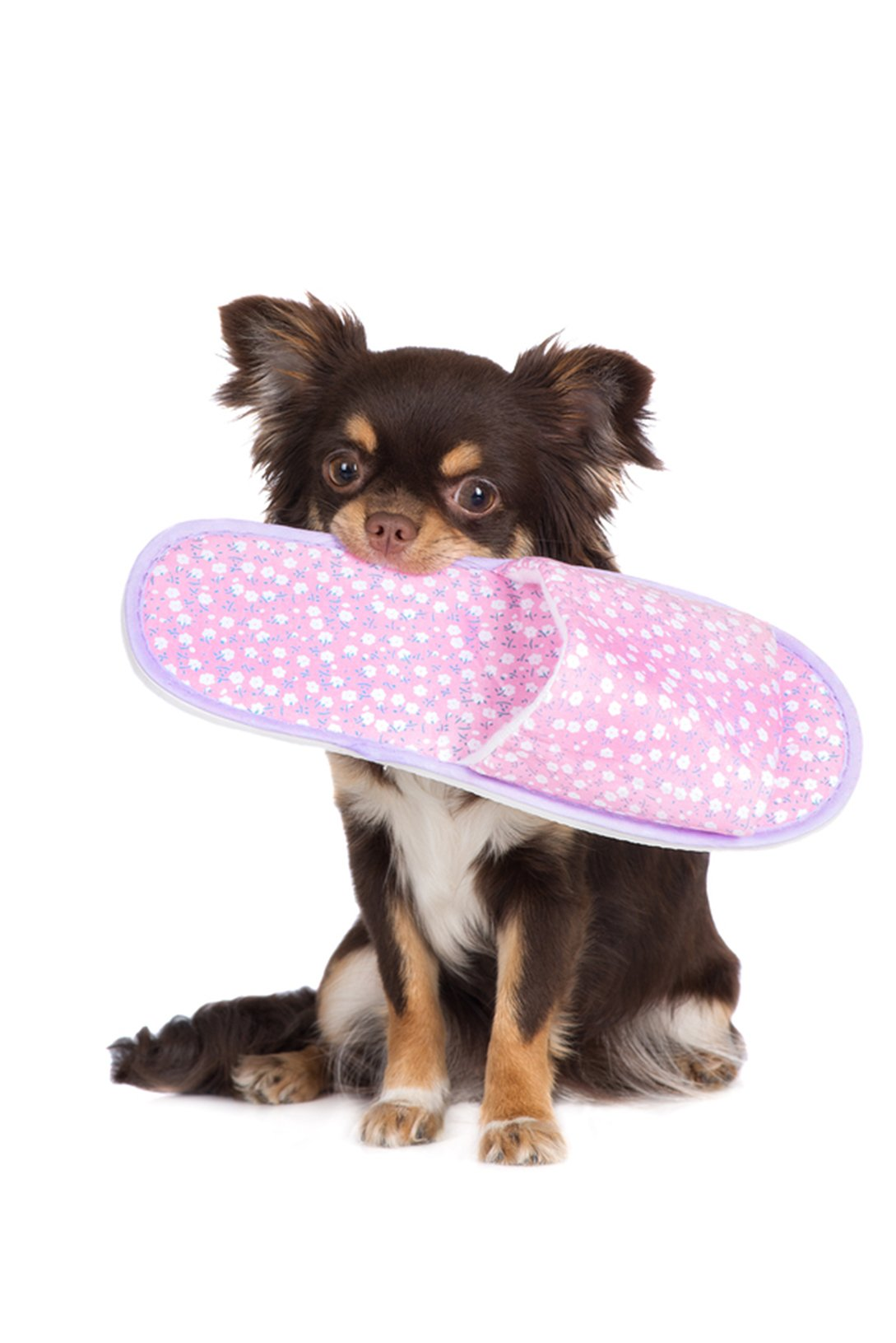 Chihuahua chewing slippers