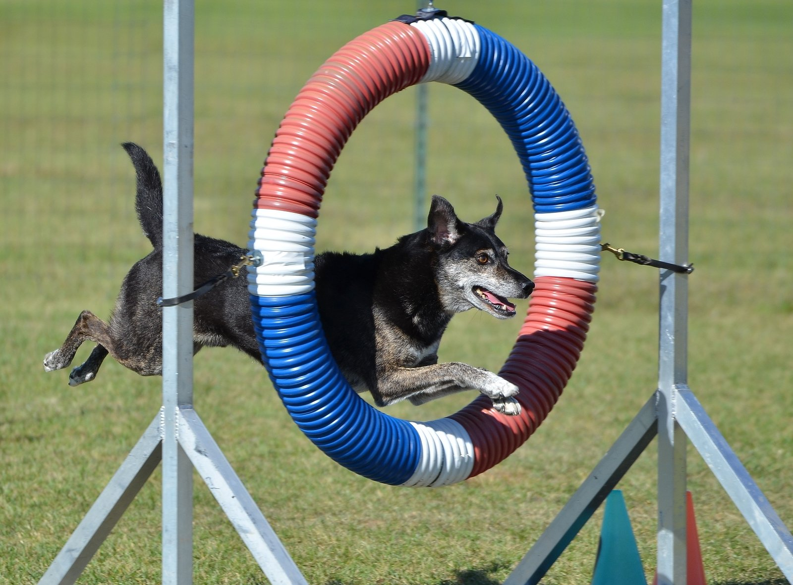 Mixed Breed Dog at agility training