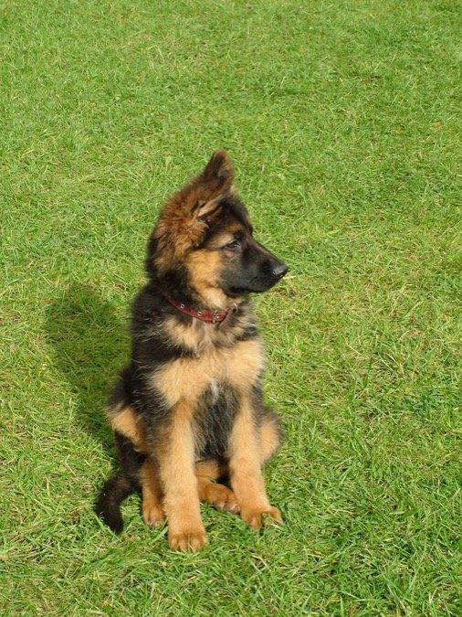 shephard puppy