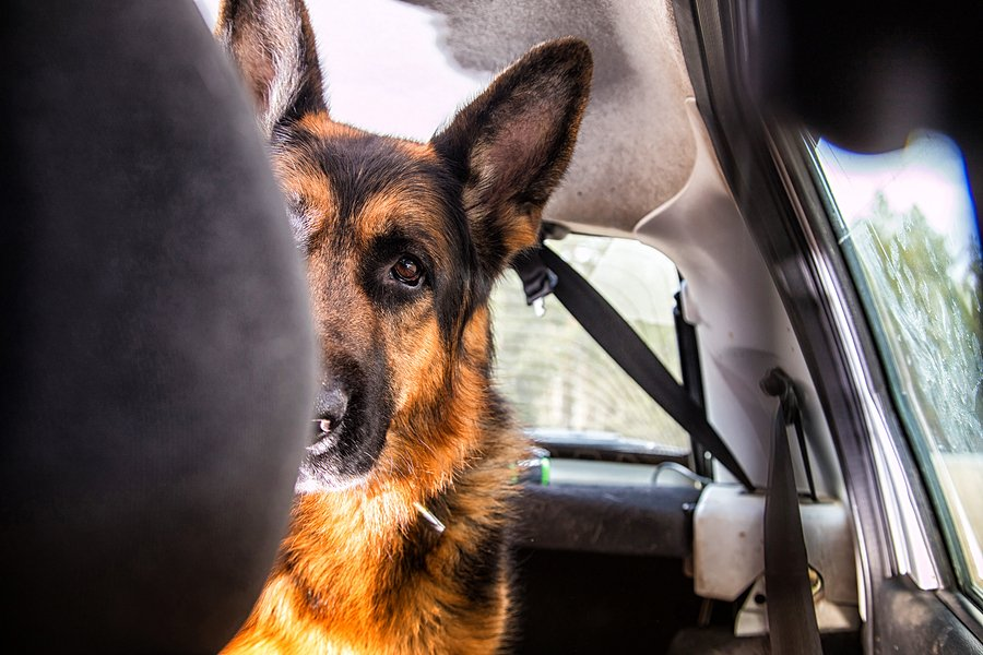 dog in a car.