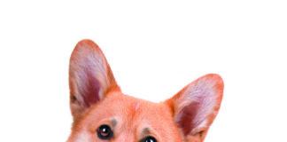 Welsh Corgi Pembroke dog