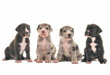 Four in 10 Great Dane puppies will grow up to suffer a painful, life-threatening disease unless they undergo a particular elective surgery.