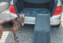 Car ramps do not come naturally to all dogs.
