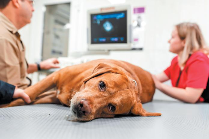 A dog needing blood might feel very weak.