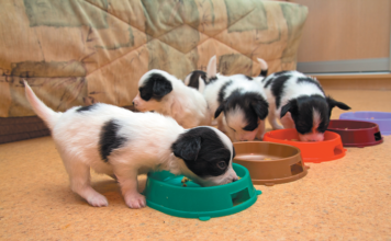 Young puppies should be fed more than twice a day.
