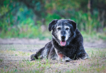 Larger dogs are the ones who often end up withlaryngealparalysis in old age. Especially in warm weather, they might do a lot of panting, even when they're not being physically active.