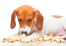 Popcorn can make a good snack for dogs. But for those with certain health conditions, salted popcorn is a bad idea.