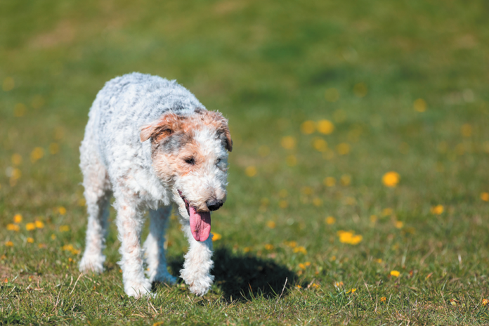 Spondylosis can make it really difficult for a dog to walk comfortably.