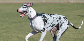 This beautiful Great Dane is at least 10 times as likely to develop bone cancer as many other breeds.