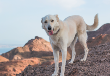 Dogs who live in desert terrain have an increased chance for developing for Valley Fever.