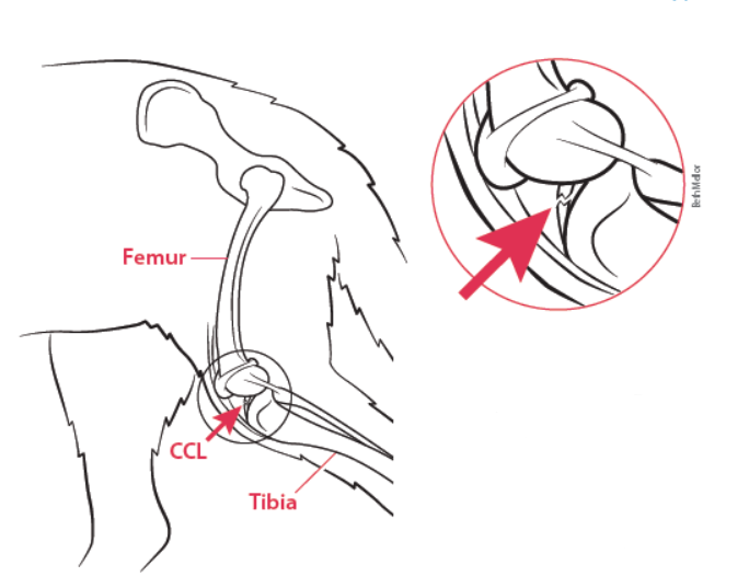 The cranial cruciate ligament, or CCL, connects the thigh bone (femur) to the shin bone (tibia). If the ligament tears, however, (see inset), the two bones slide past each other during walking and running. That's what causes the pain.