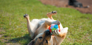 Some dogs would rather do a trick in exchange for a toy rather than a treat.