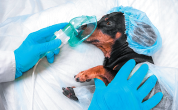 The official recommendations for how long a dog should fast before undergoing anesthesia may differ from what your veterinarian tells you. Listen to the doctor.