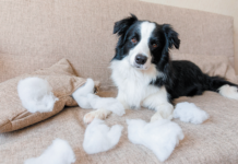 Some dogs left alone for too long become extremely anxious. In their fear, they start tearing the house apart.